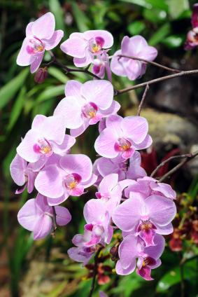 源頭把關  蝴蝶蘭健康種苗