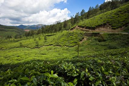 製茶標準化  安全管理擺第一